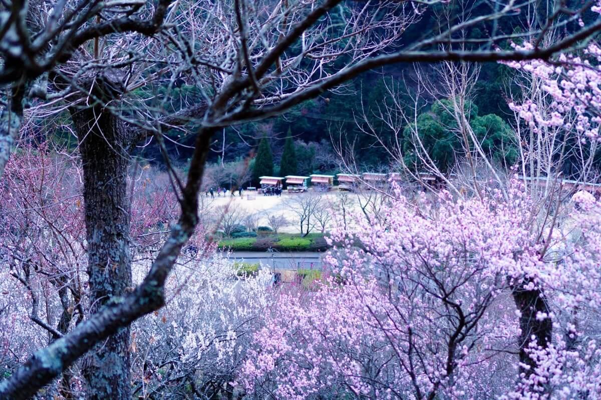 【ぽけ旅Vol.2-2】湯河原梅林 梅の宴の楽しみ方・開花状況(幕山公園)